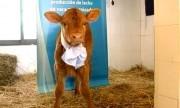 """Rosita ISA, la vaca argentina que produce """"leche maternizada"""""""