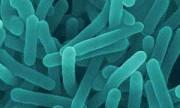 Una bacteria contra el cáncer de páncreas