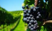 Investigan una toxina cancerígena que aparece en las uvas